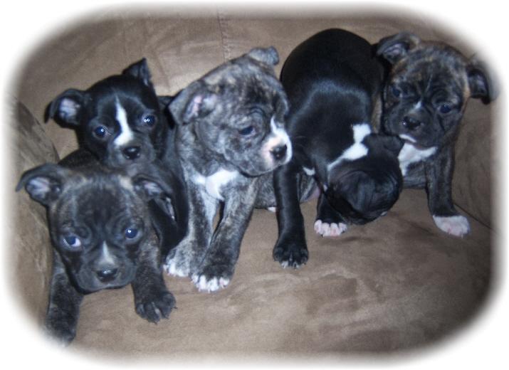 Tesmer Valley Mini Boxer Puppies